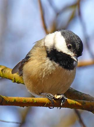 Black-capped chickadee in stanley park.