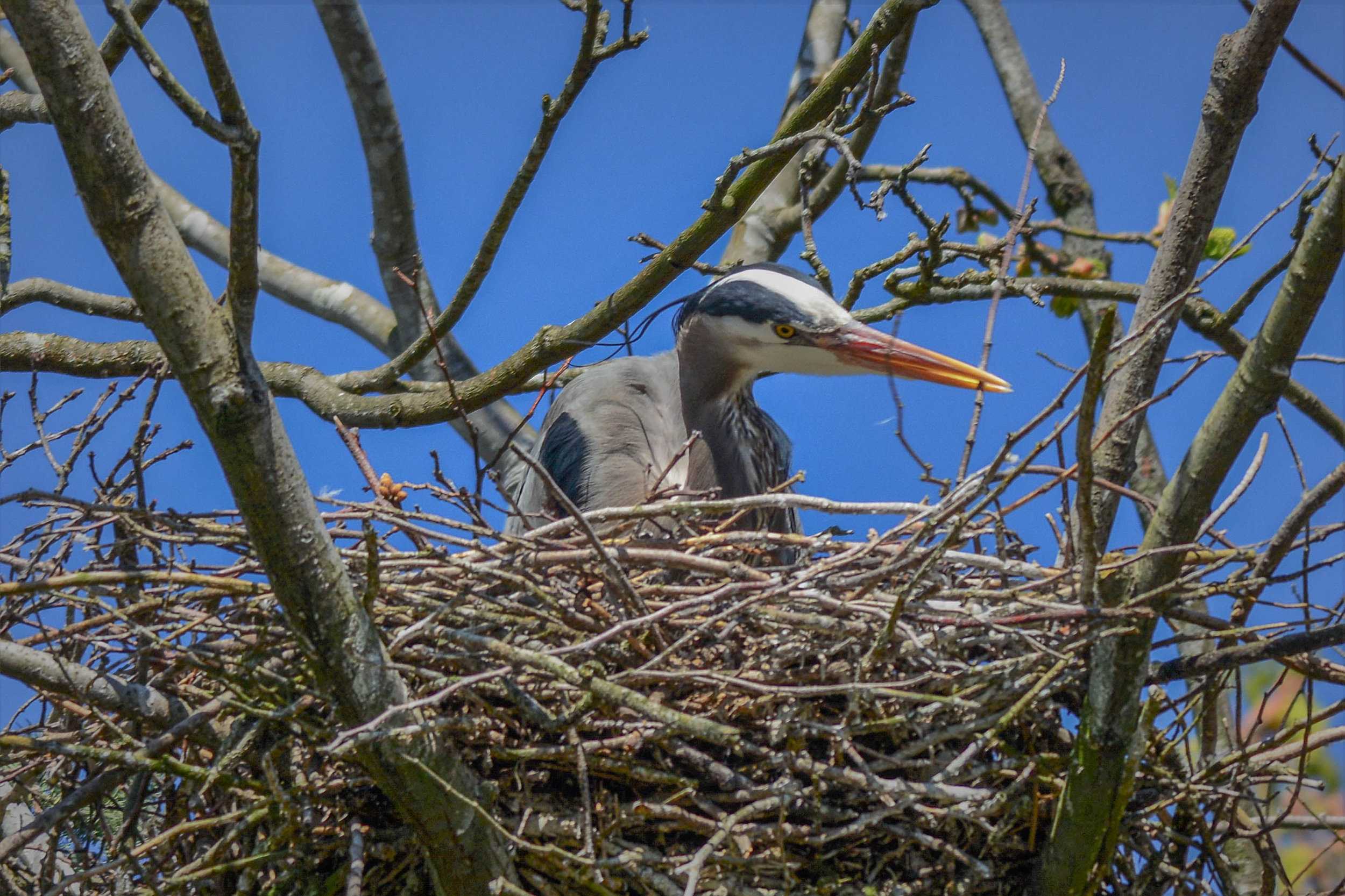 Live, from the Stanley Park Heron Cam.