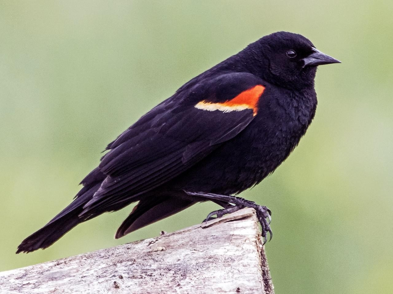 The Red Winged Blackbird is a well-known neighbour in the West End.