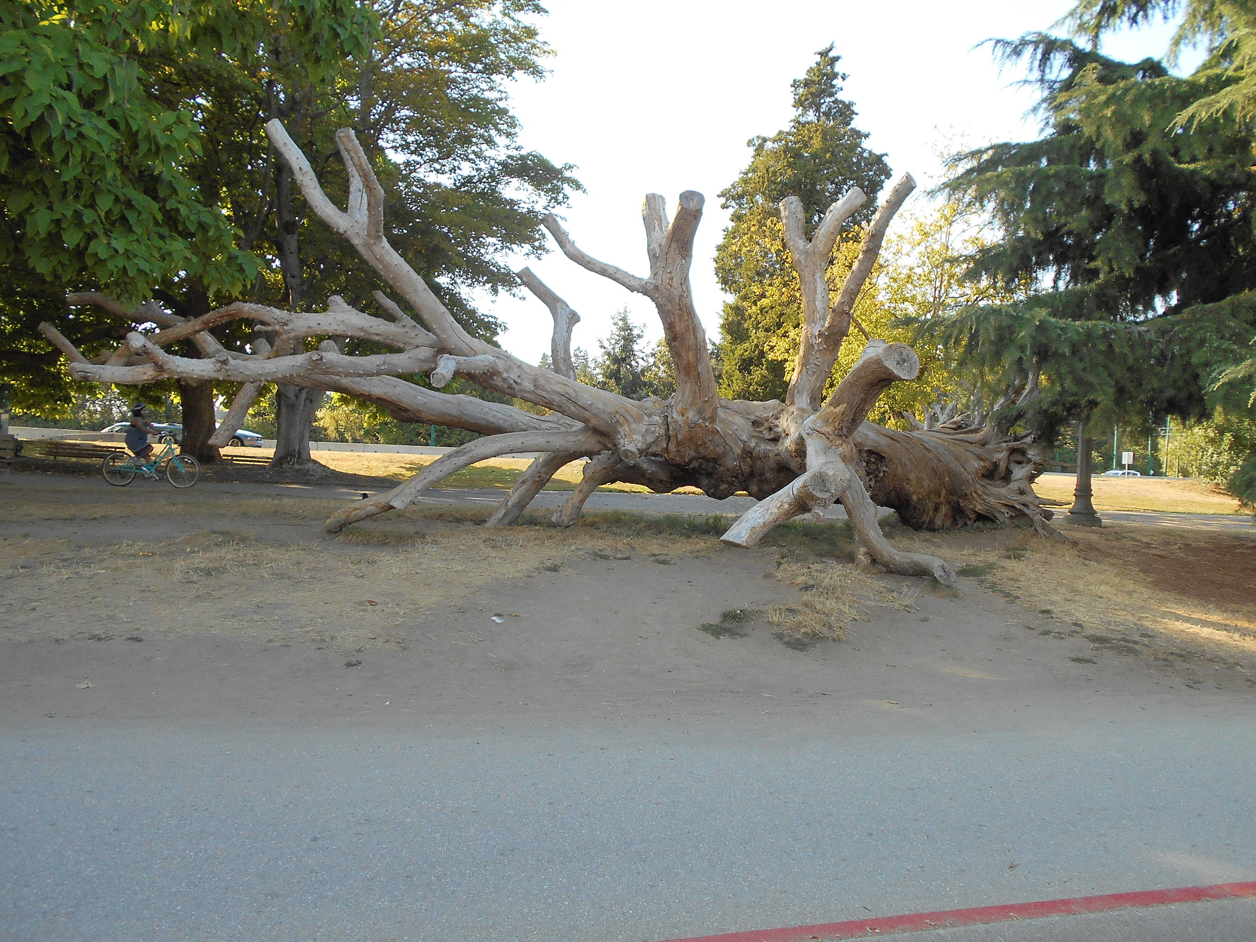 The large catalpa tree, blown down during the storm of December 2006, remains as a landmark.