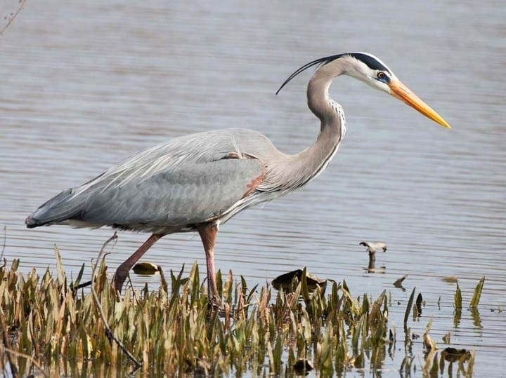 The Blue Heron is just one of the many birds that share our West End neighbourhood.
