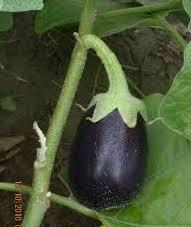If you want eggplant, plant solanum melongena.