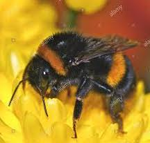 Do you know if the bees in your garden are morning bees or evening bees?