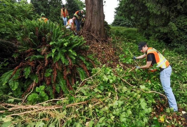 Volunteers work at keeping invasive species from taking over Stanley Park.