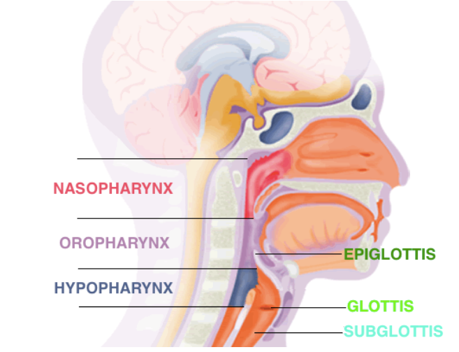 Adapted from: http://e-safe-anaesthesia.org/sessions/14_01/gif/ana_1_004_anatomy_of_the_airway_09_t1_01_med.gif