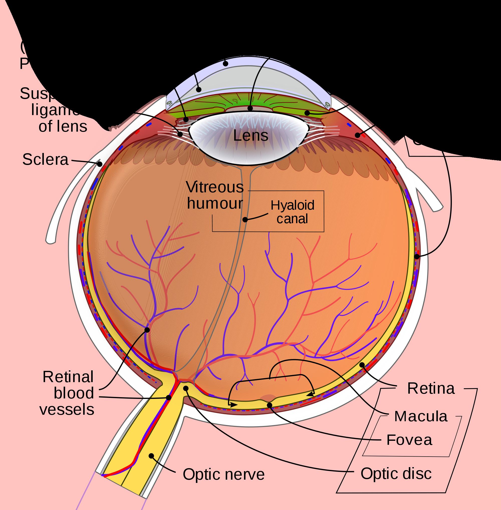 Figure 1. Anatomy of the Eye. Courtesy of Wikimedia Commons.