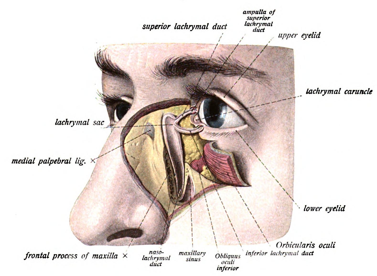 Figure 2. Lacrimal Anatomy. Courtesy of wikimedia commons (7).