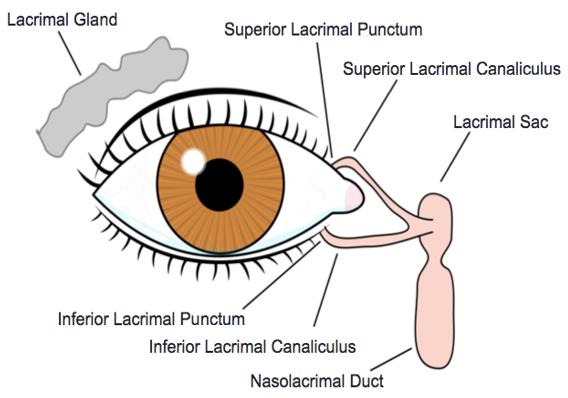 Figure 3. Lacrimal Anatomy. Courtesy of Wikimedia commons (11).