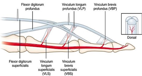 Figure 3. Depiction of VLS and VLP and their connection to vascular supply of finger [10]