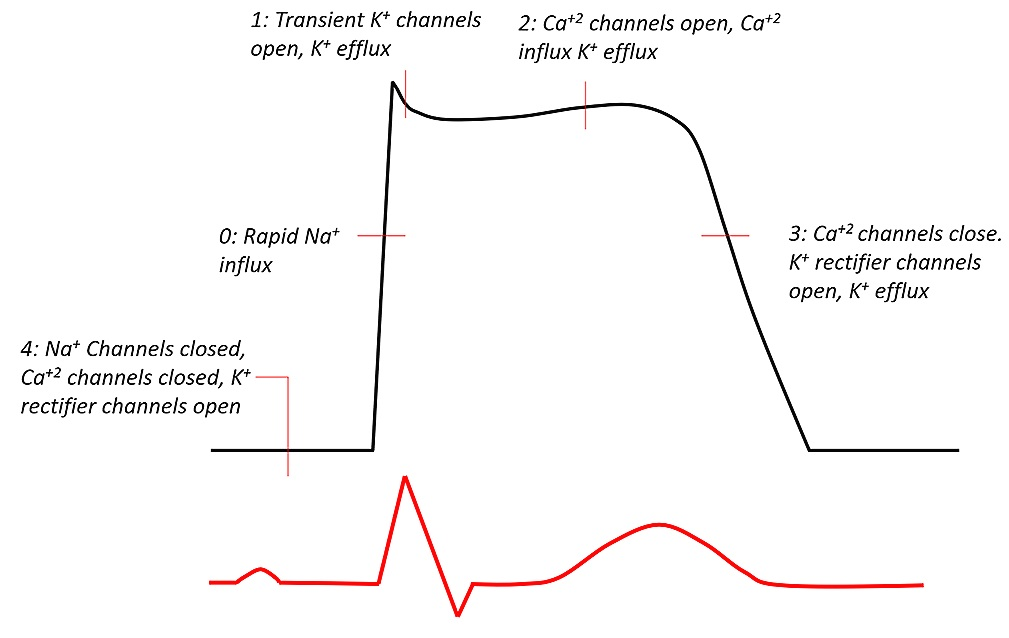 Figure 1: Graph depicting the cardiac action potential in association with QT interval