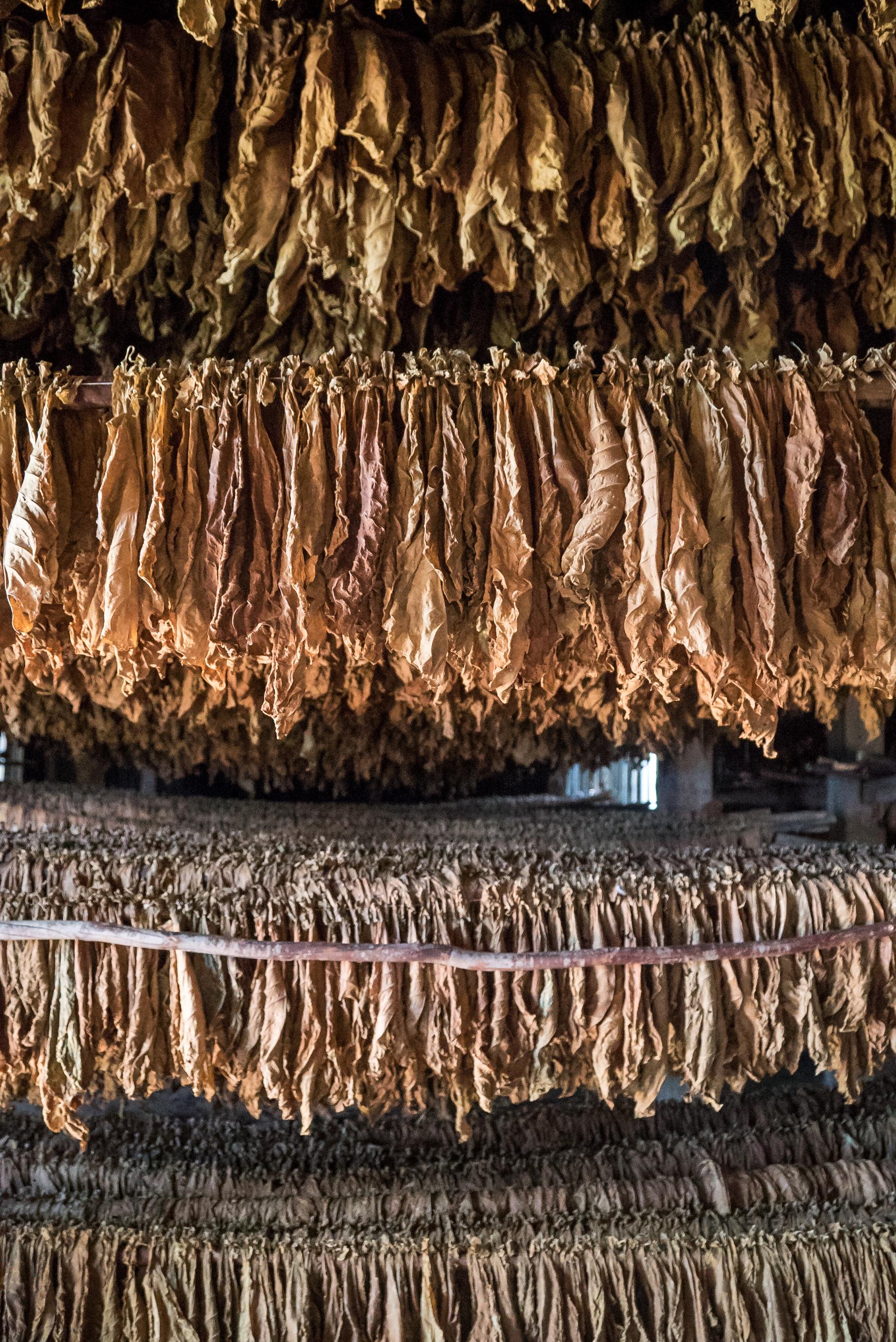 Tobacco farm in Viñales