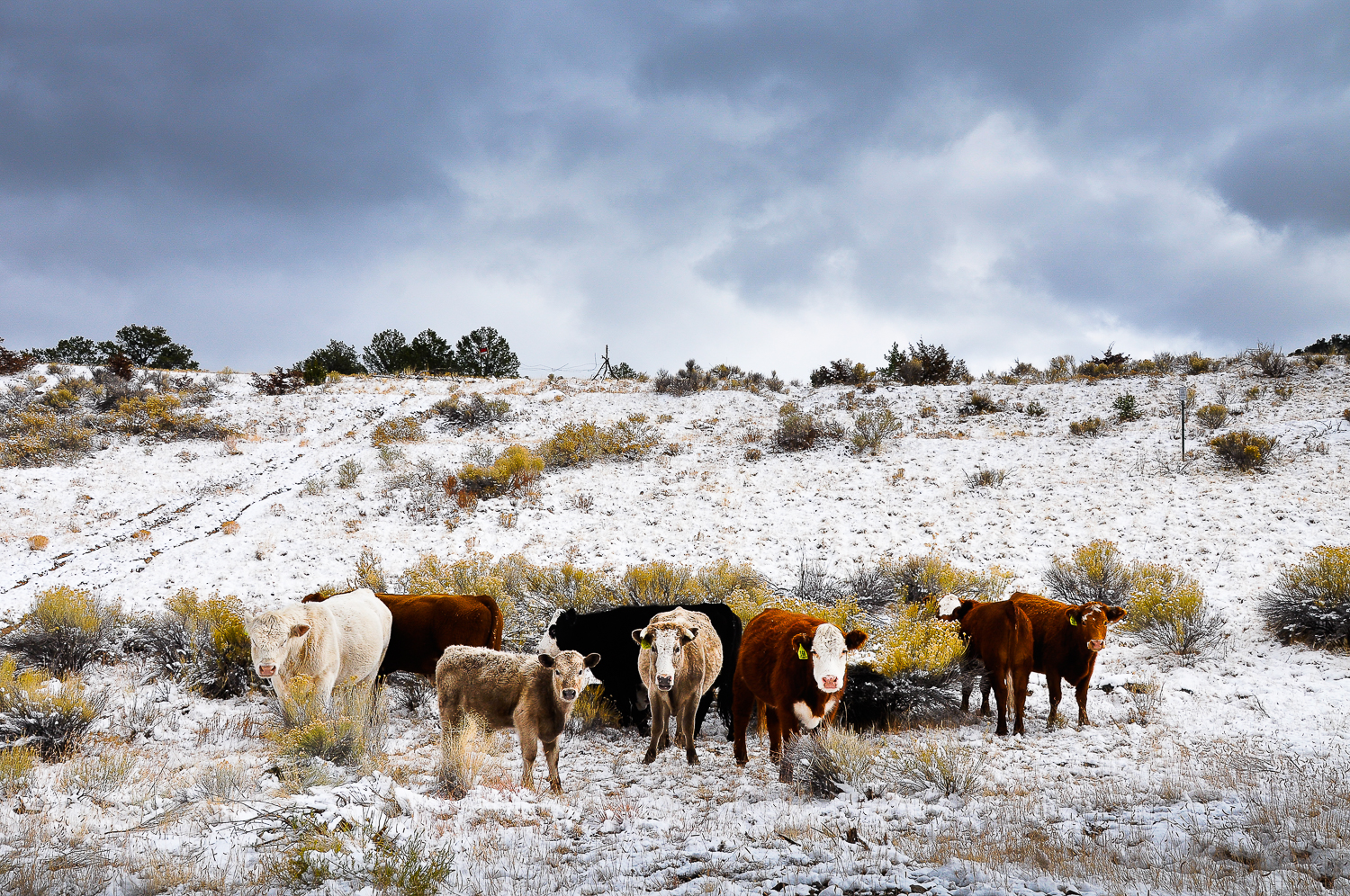 Cold Cattle  , San Mateo, NM
