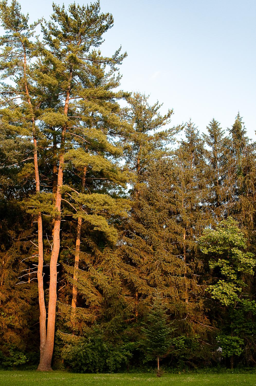 White Pine Gone Orange  , Huntingdon, PA