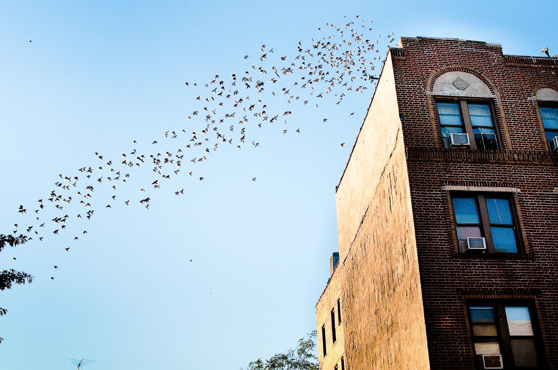 Bushwick Pigeons,  Bushwick, Brooklyn, NY