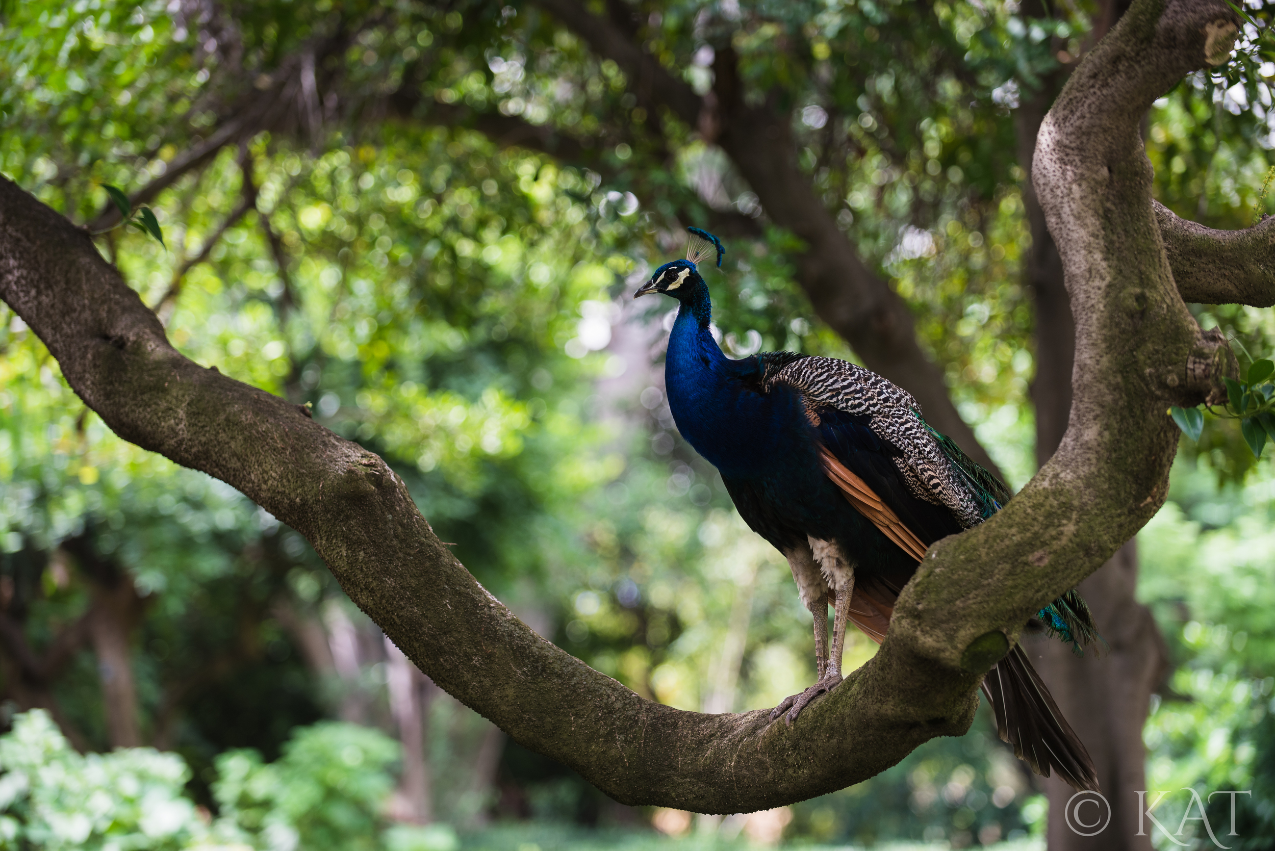 The LA Arboretum is filled with peacocks. :) And we caught this one hanging out on a tree.