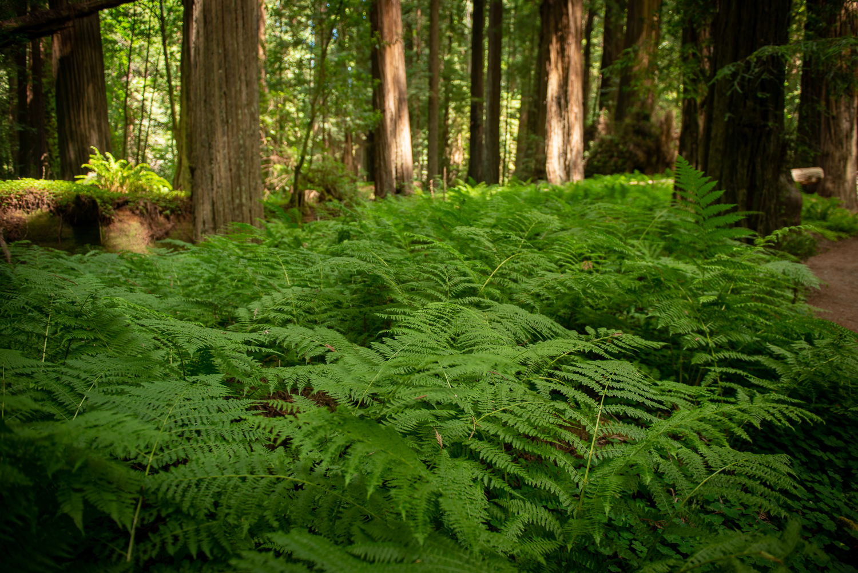 Fern bedding, giant redwood forest