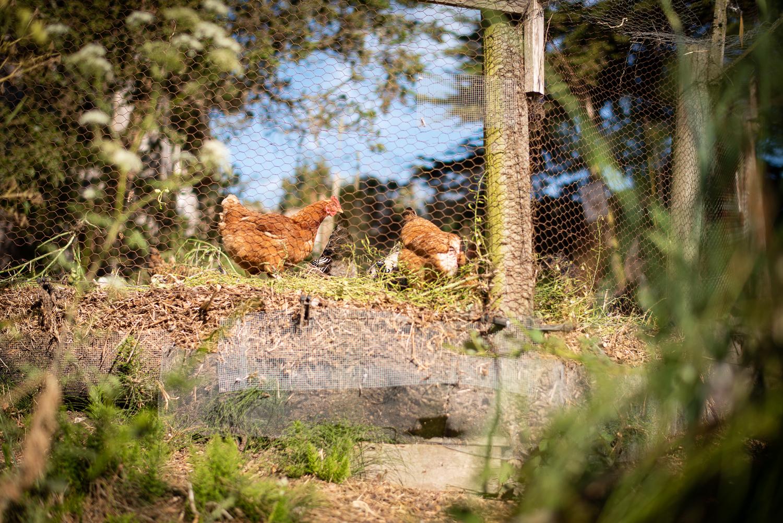Slide Ranch Chickens
