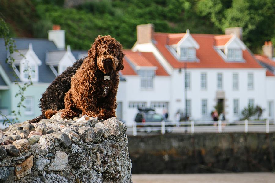 Dog on the Beach - Isle of Jersey