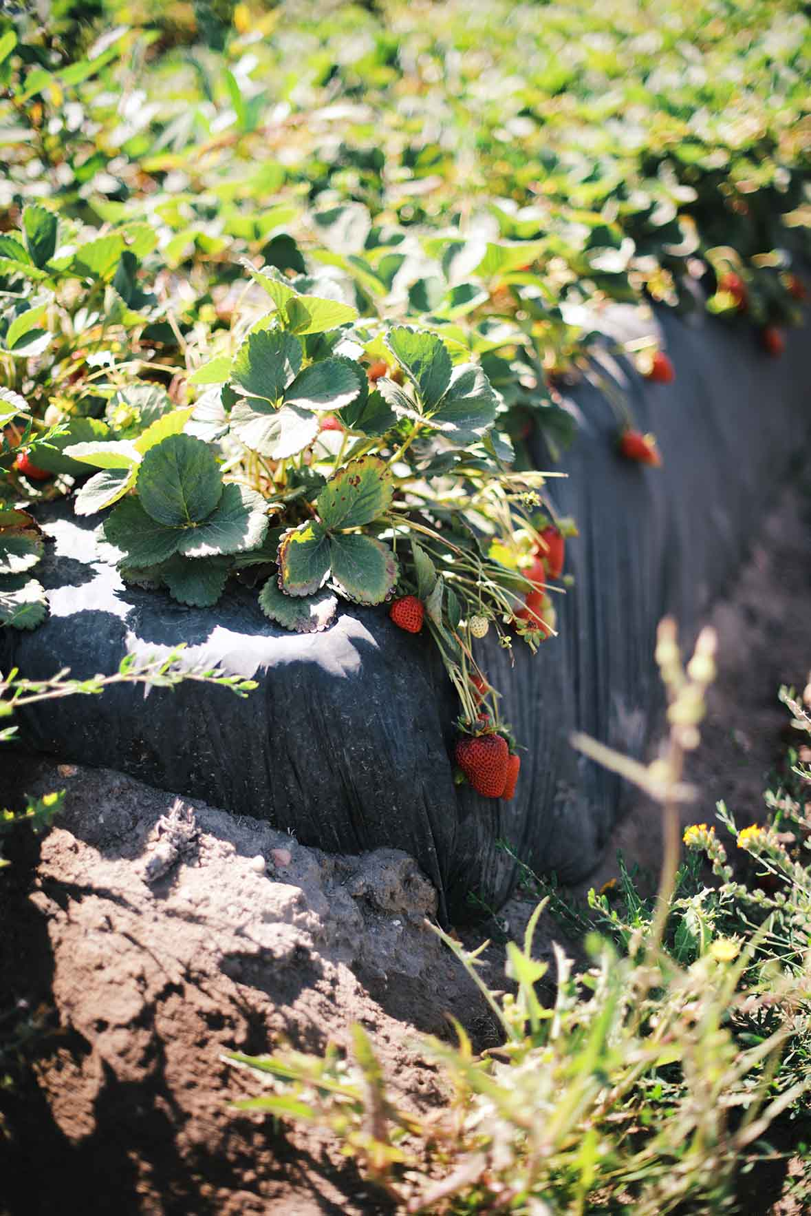 California Strawberries at Pismo Beach | A Brown Table