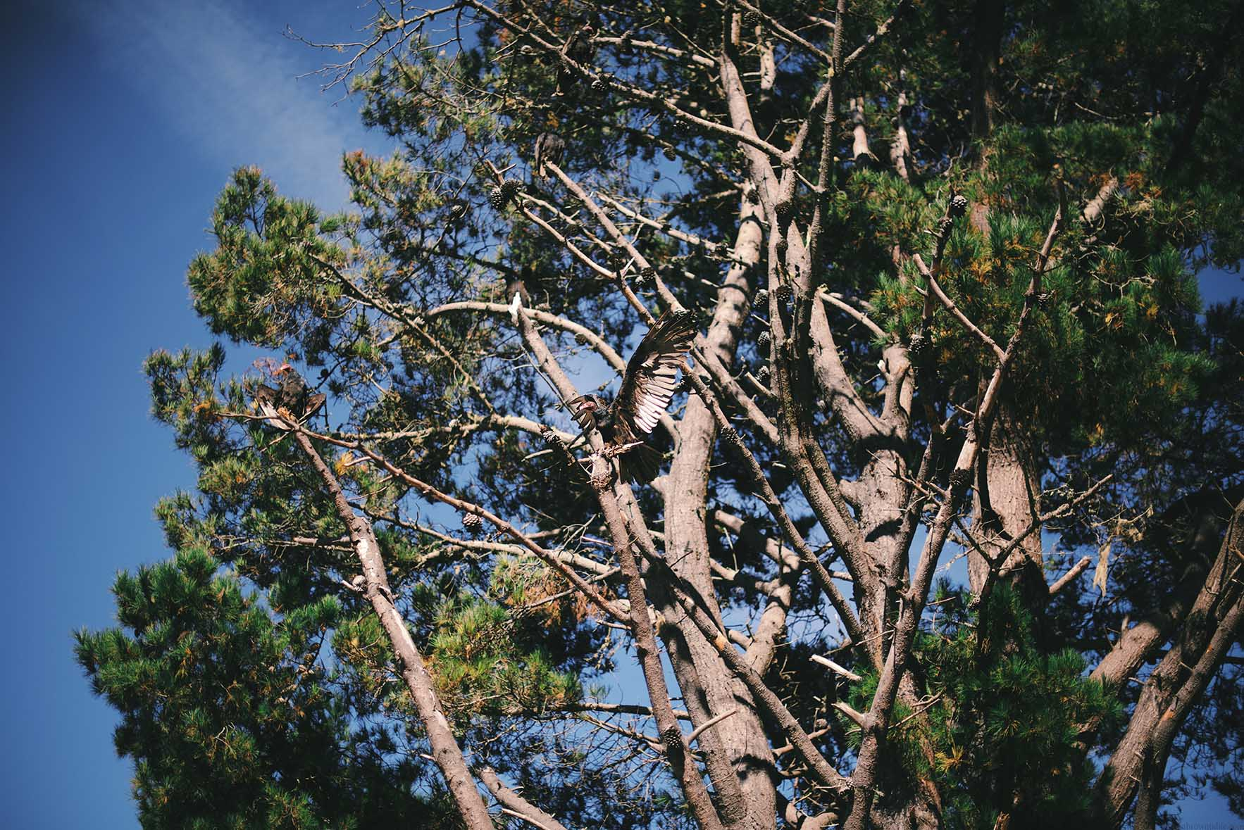 Concords (birds), Mendocino, California | A Brown Table