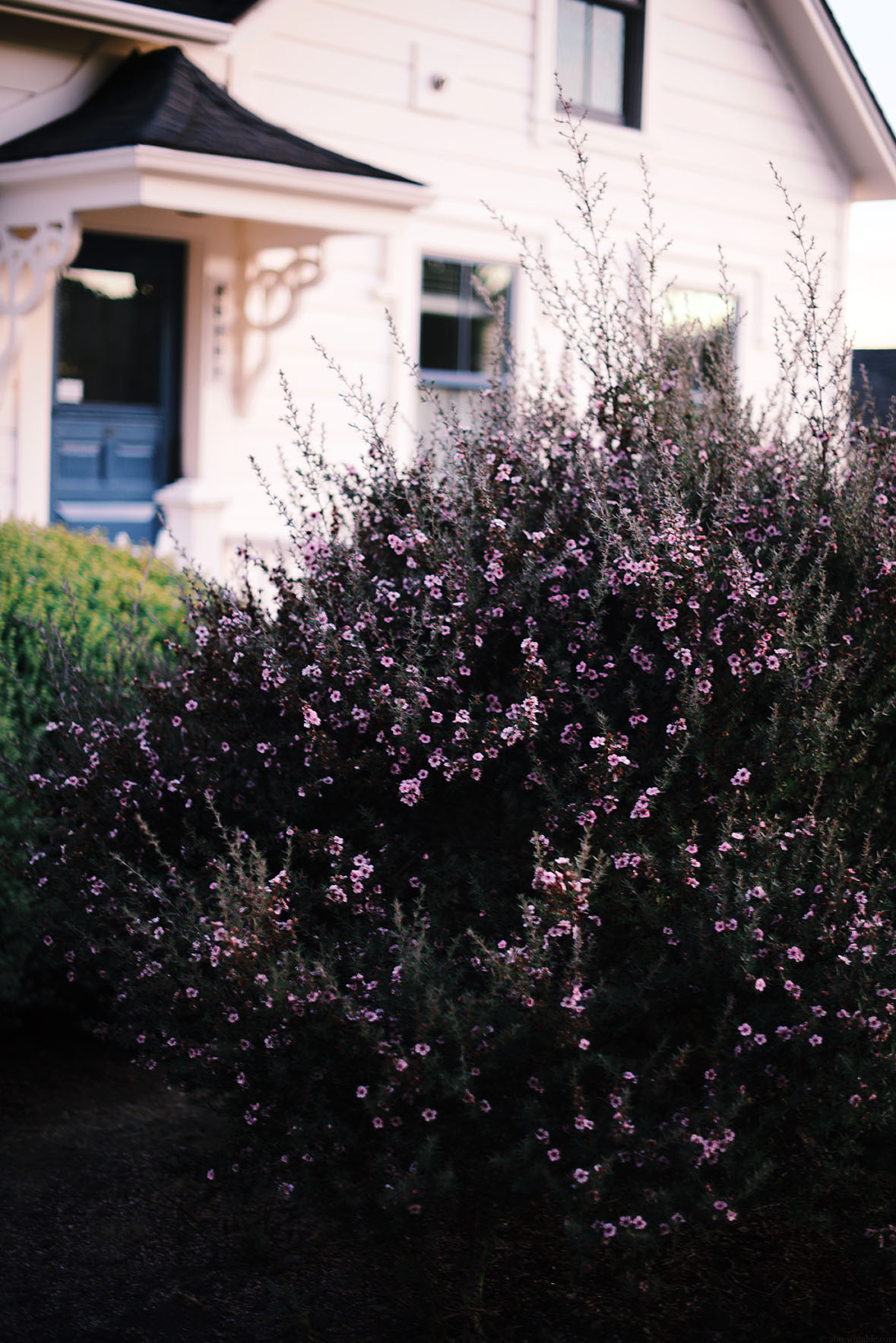 Rosemary bushes, Mendocino, California | A Brown Table