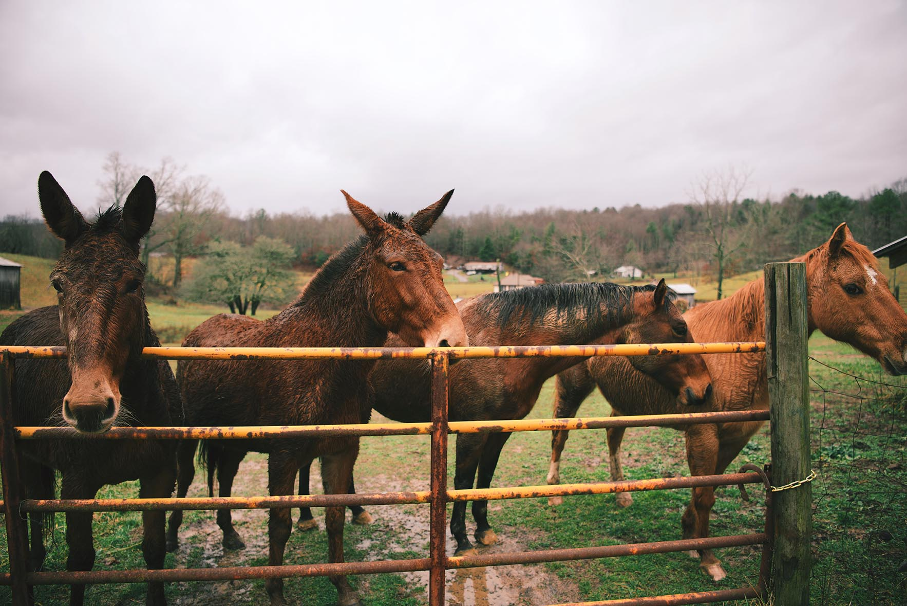 Mules at Mouth of Wilson, Virginia | A Brown Table