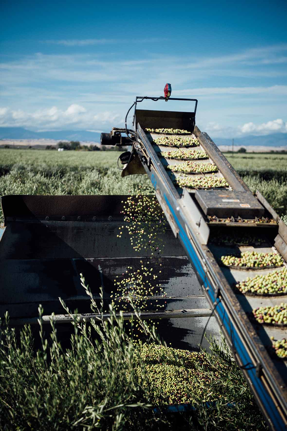 CA Olive Oil Harvest |A Brown Table