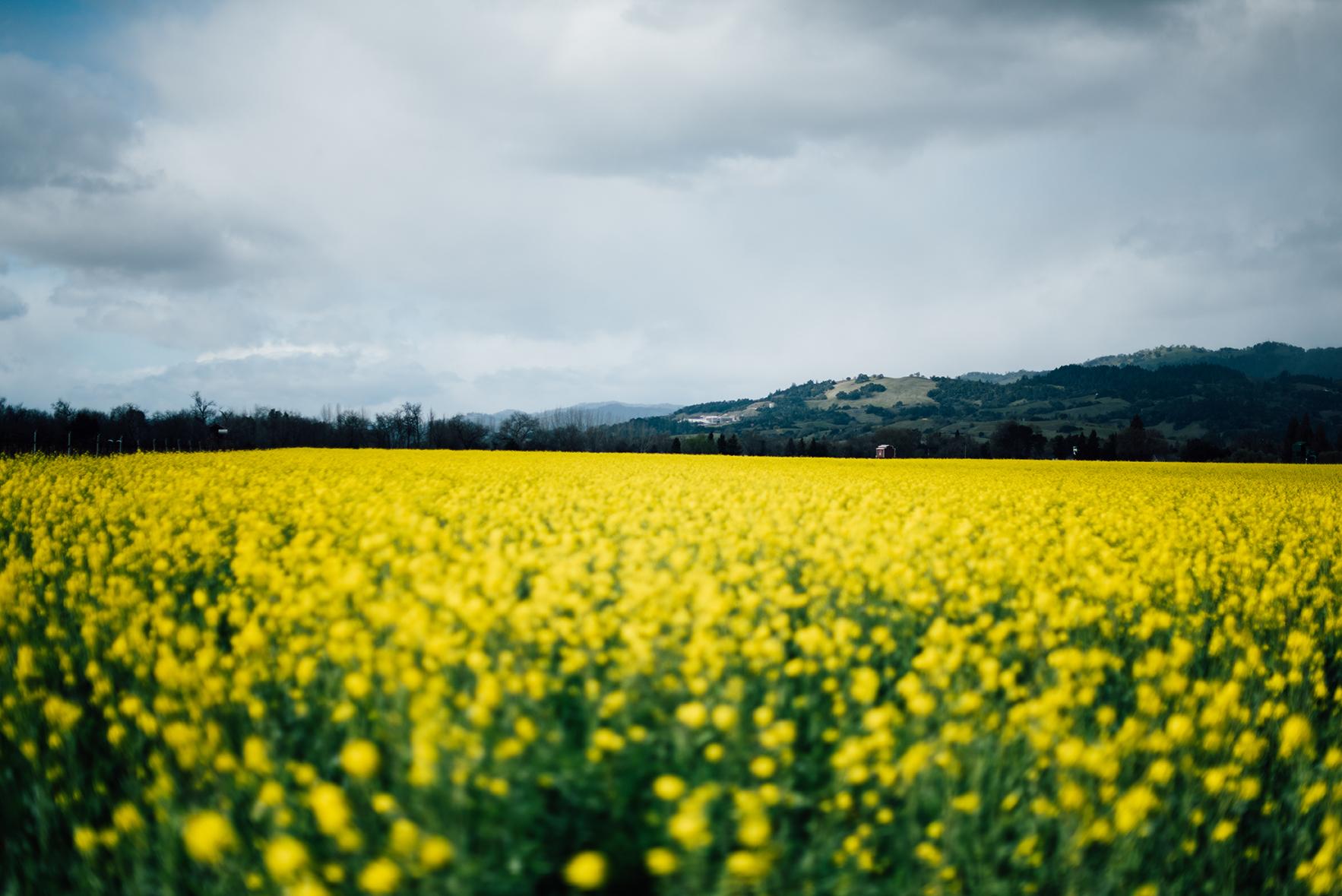 Sonoma, CA Wild Mustard Blooms | Nik Sharma