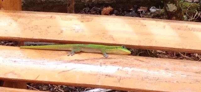 Geckos everywhere