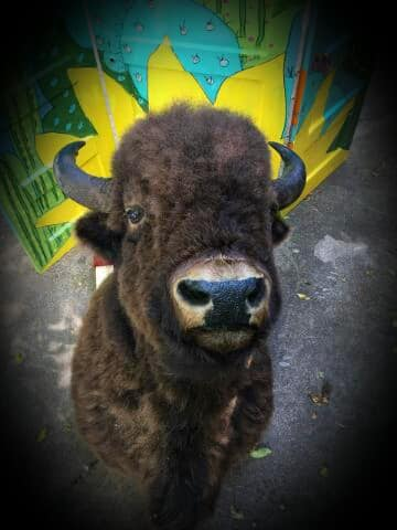 Lodge size shoulder mount buffalo head