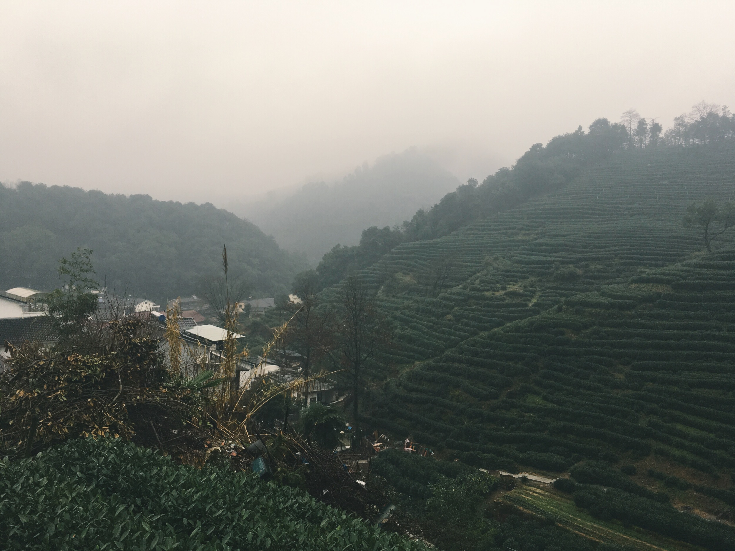 Chinese Dragonwell Green Tea Mountain Growing Area Village Mei Jia Wu