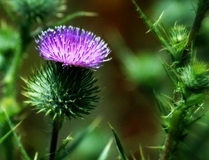 thistle_color_saturated.jpg