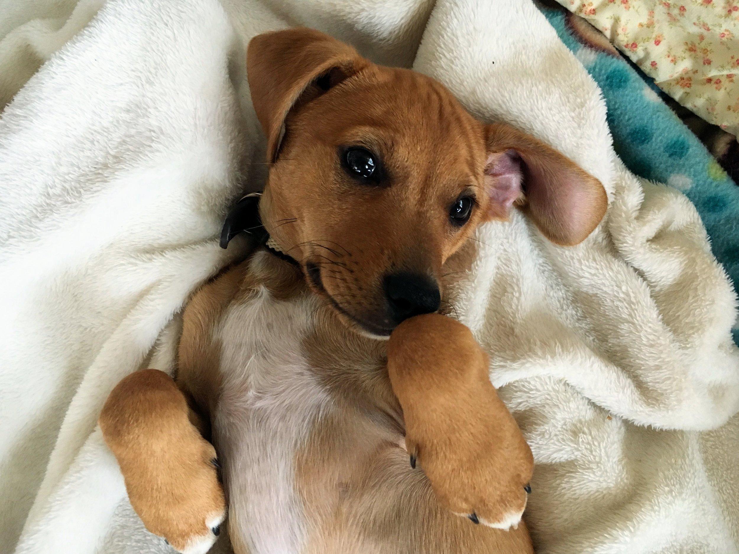 hound mix puppy.jpg