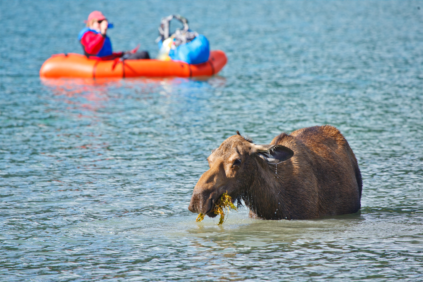 The best part of being a moose is you can eat dinner and take a bath at the same time. (Paul Nguyen)