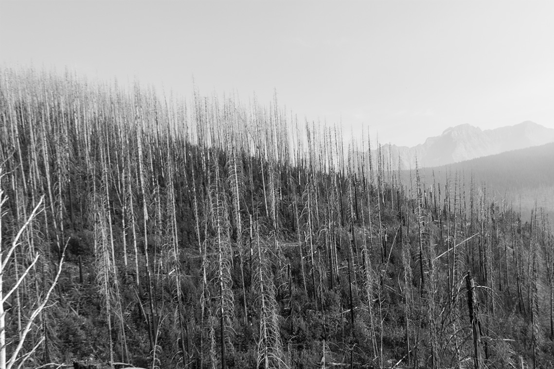 The blazing fires of Montana made these trees look like toothpicks. (Lauren Chagaris)
