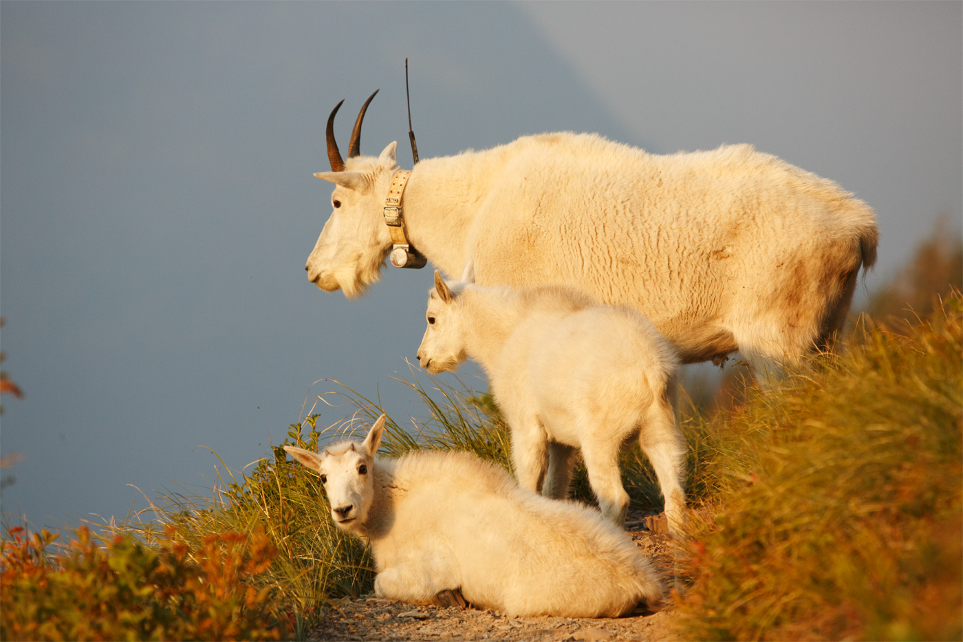 goat family at dawn