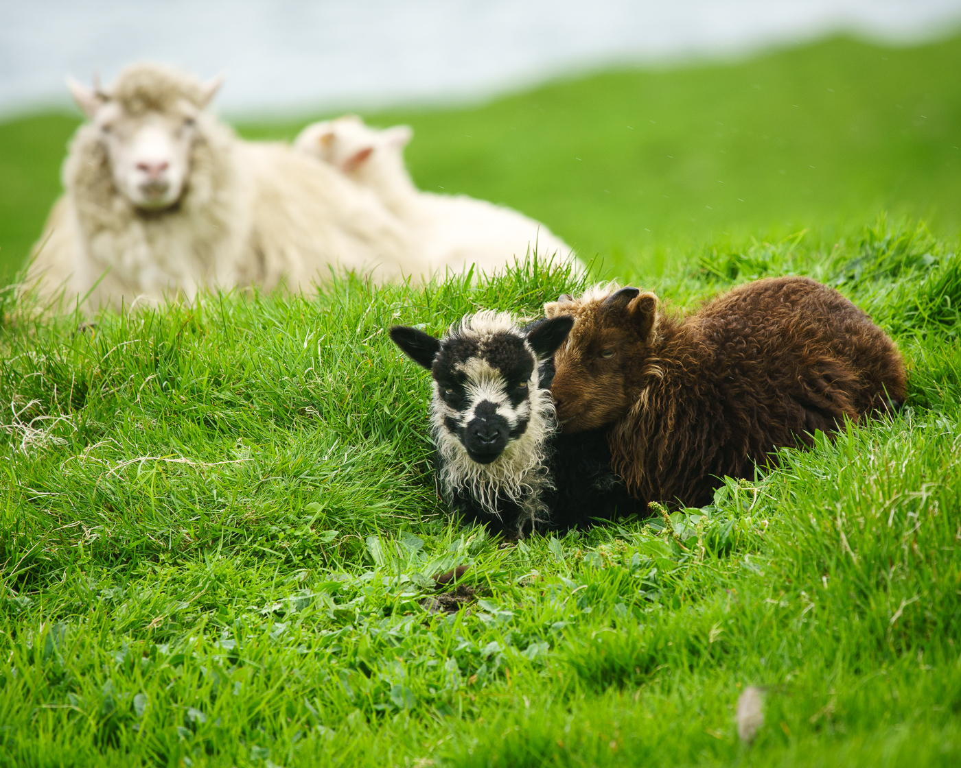 Lambs and Mommy.jpg