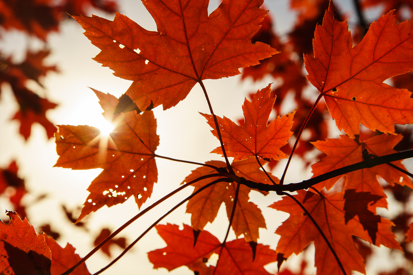 Beautiful red maple leaves in Vermont