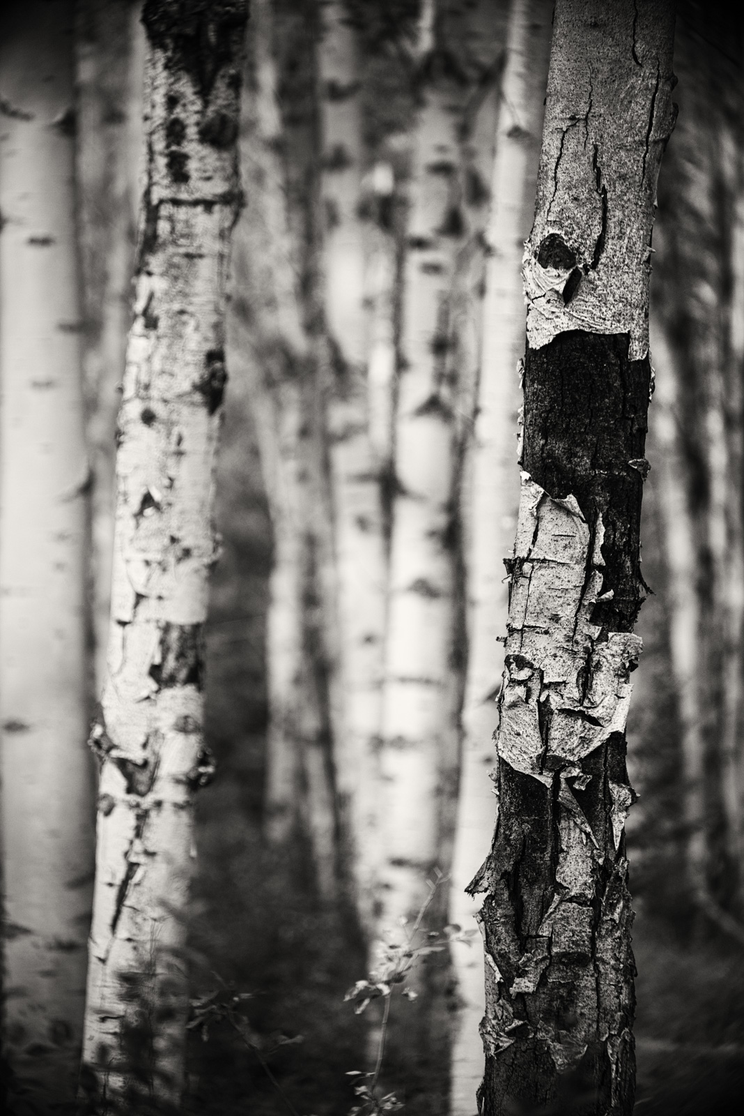 You can make interesting compositions using Aspen trees - one of our photo stops. © Allie Richards
