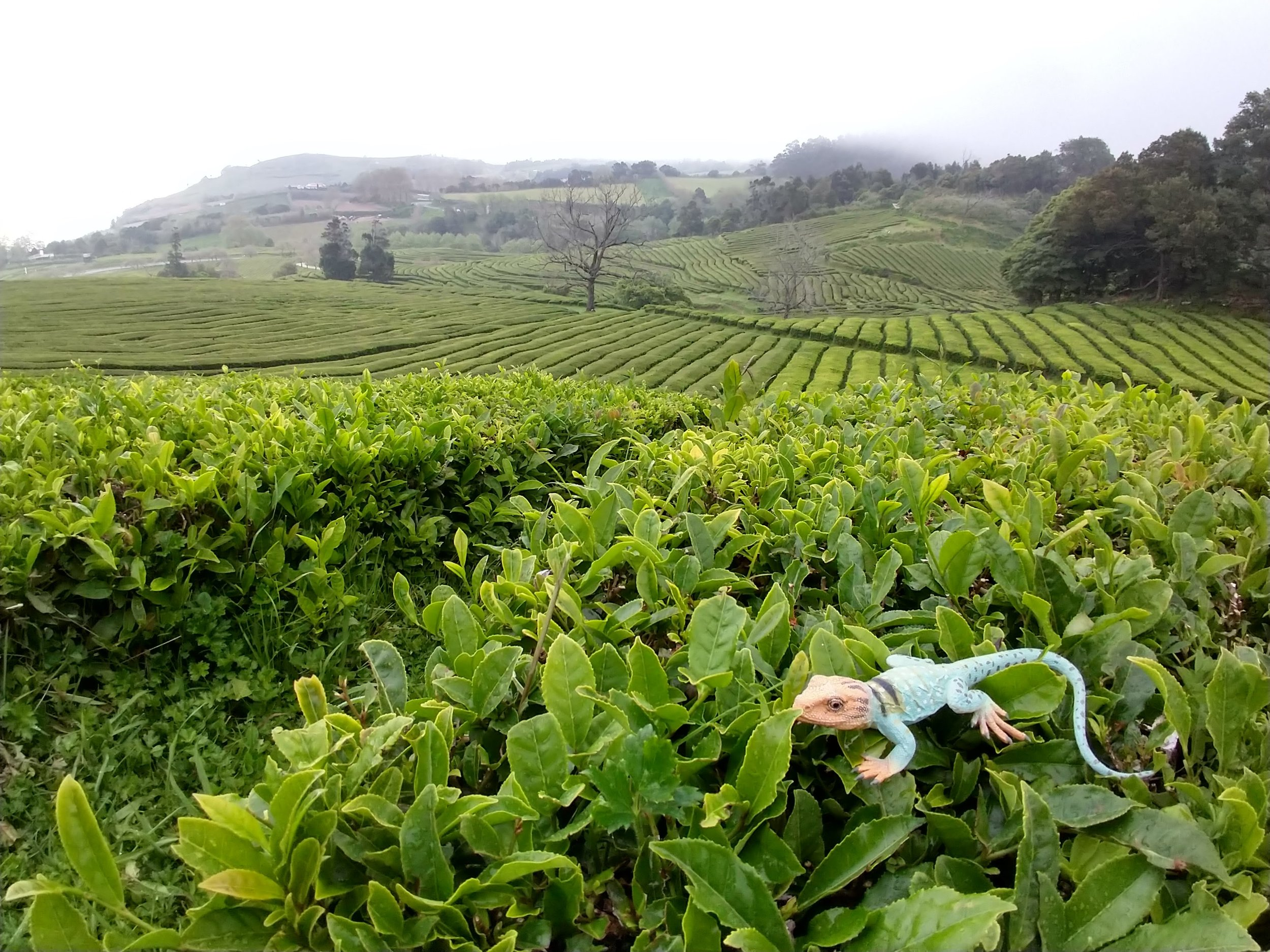 Kanab munching on some tea leaves in Sao Miguel, the Azores Islands in Portugal.