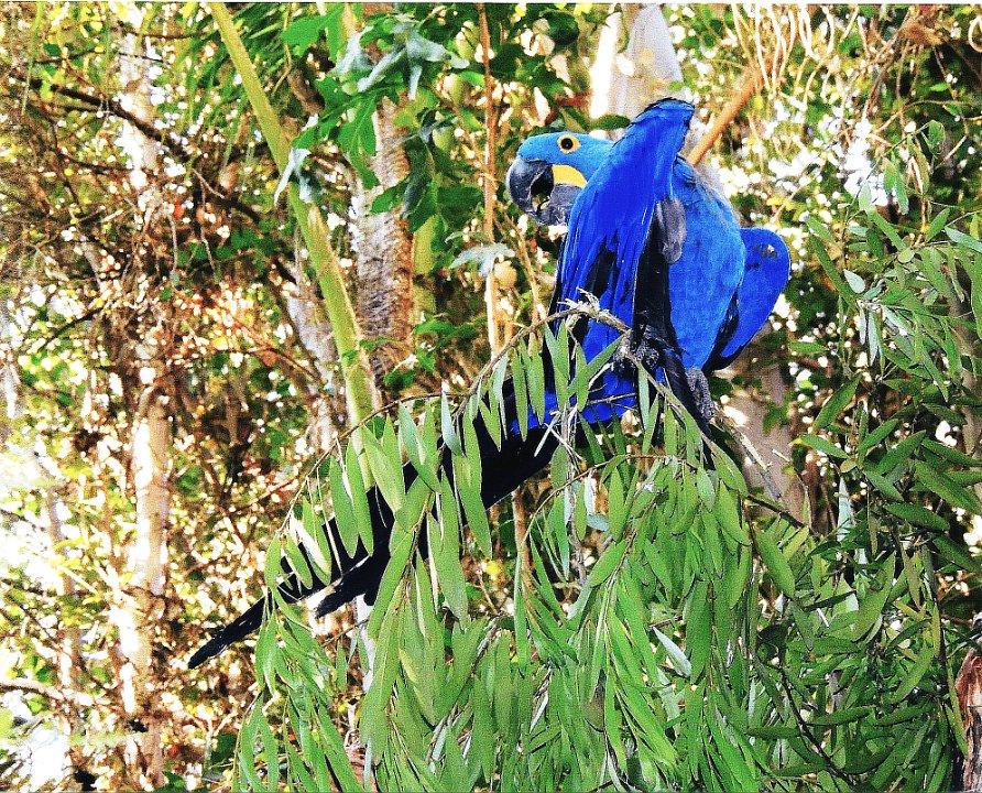 bluemacaw1.jpg.jpg