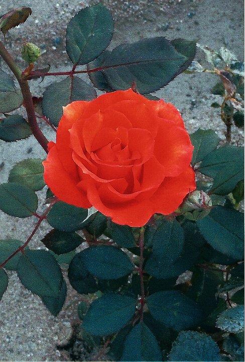 orangerose1.jpg.jpg