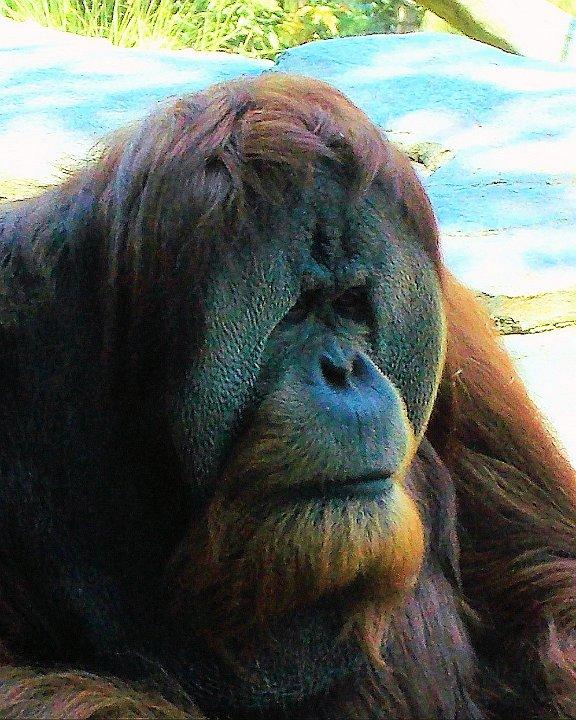 orangutan1.jpg.JPG