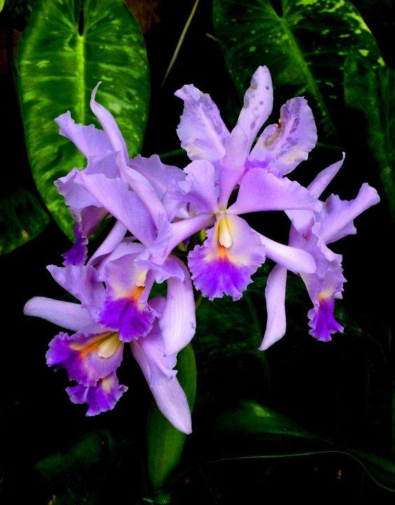 purpleorchid1.jpg.JPG