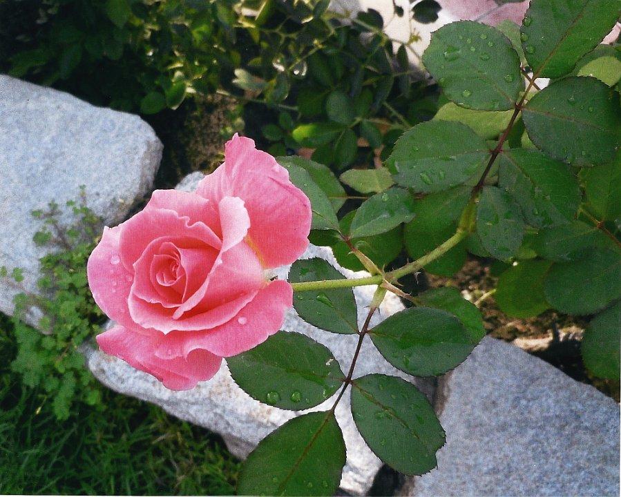 rosebudwith dropofdew1.jpg.jpg