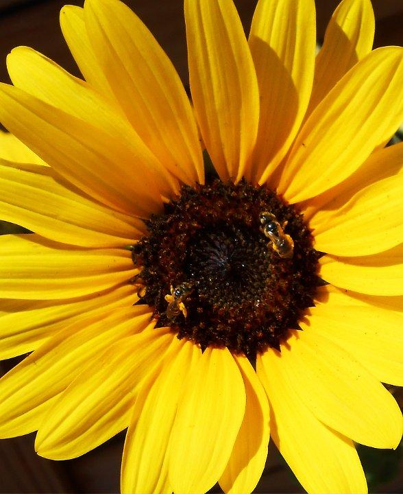 sunflowerbees1.jpg.JPG