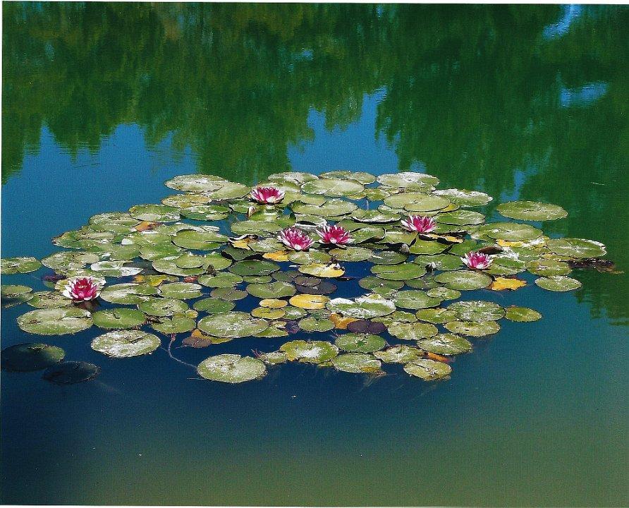 waterlilies1.jpg.jpg
