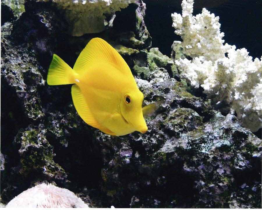 yellowtang1.jpg.jpg