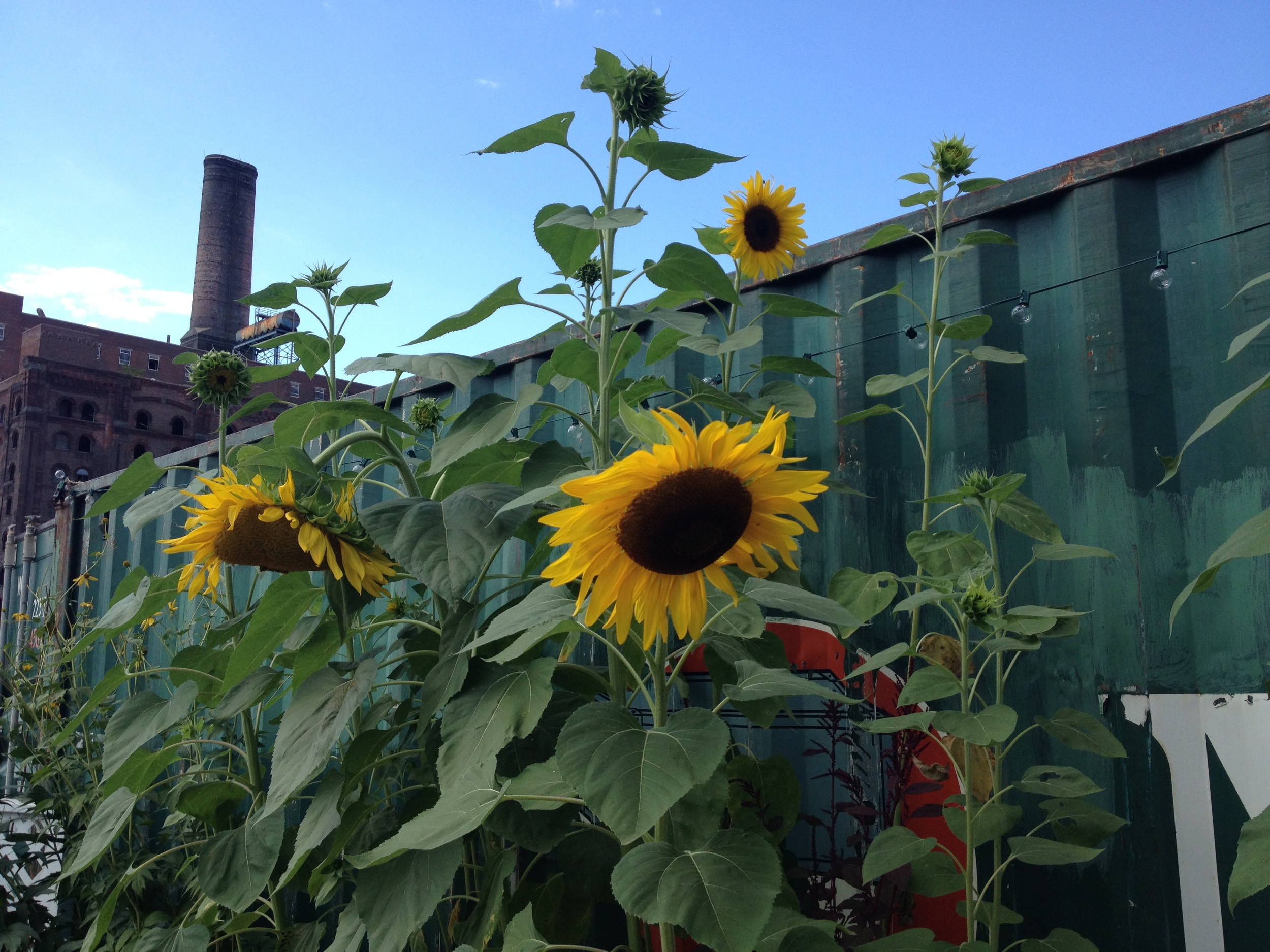 Sunflowers outside The Tipi Project, location of this month's moon circle.