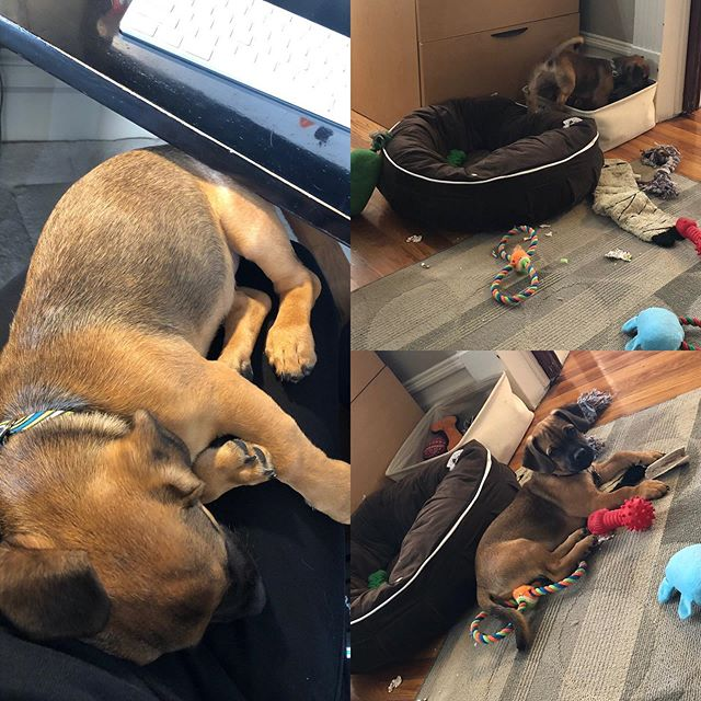 First day at the office for our new Ruff Haus pack member Drax. He's learning his duties quickly! #officedogs #rufflife #doglife